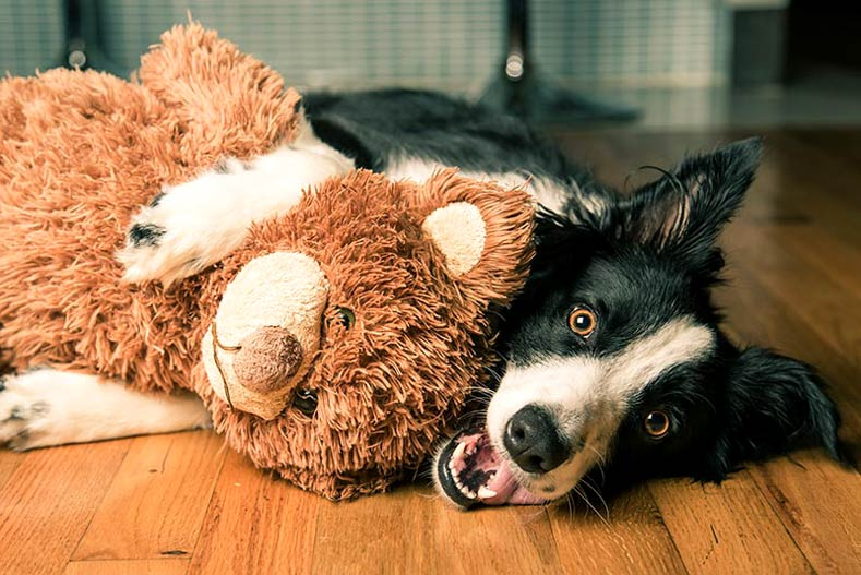 Border-Collie-with-Toy