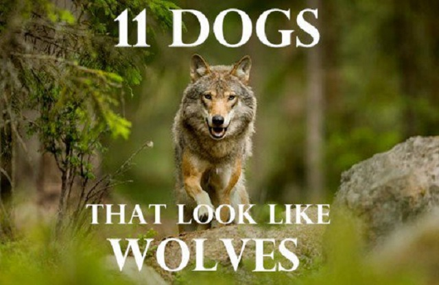 Dogs with Wolf Trait