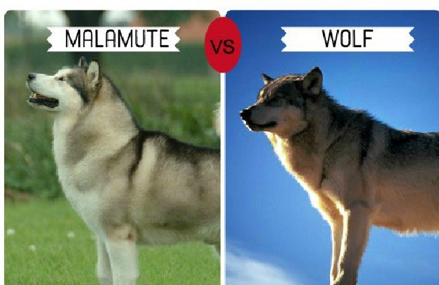 Dog Wolves Breed