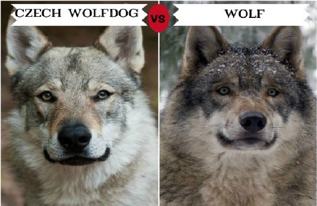 Dogs That Look Most Like A Wolf