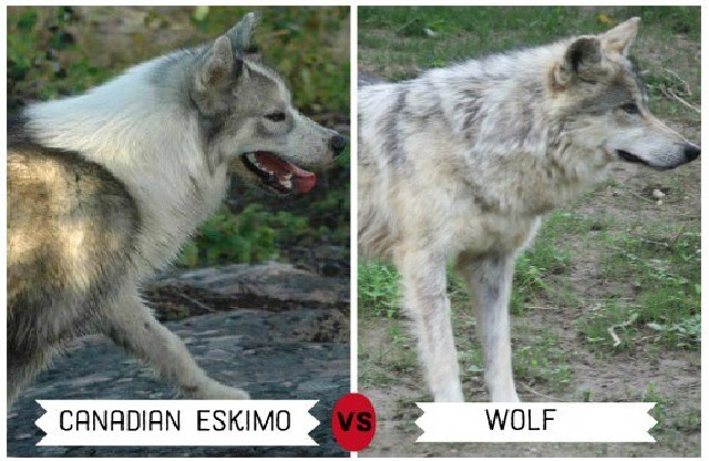 Canadian Eskimo