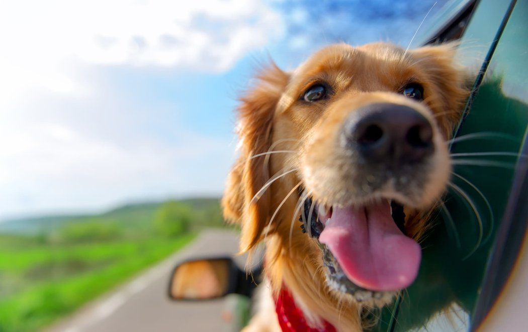 Dog in Car Windor - To Travel With Your Pet Or Not?