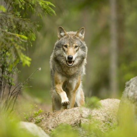 Wolf-Like Dog Breeds