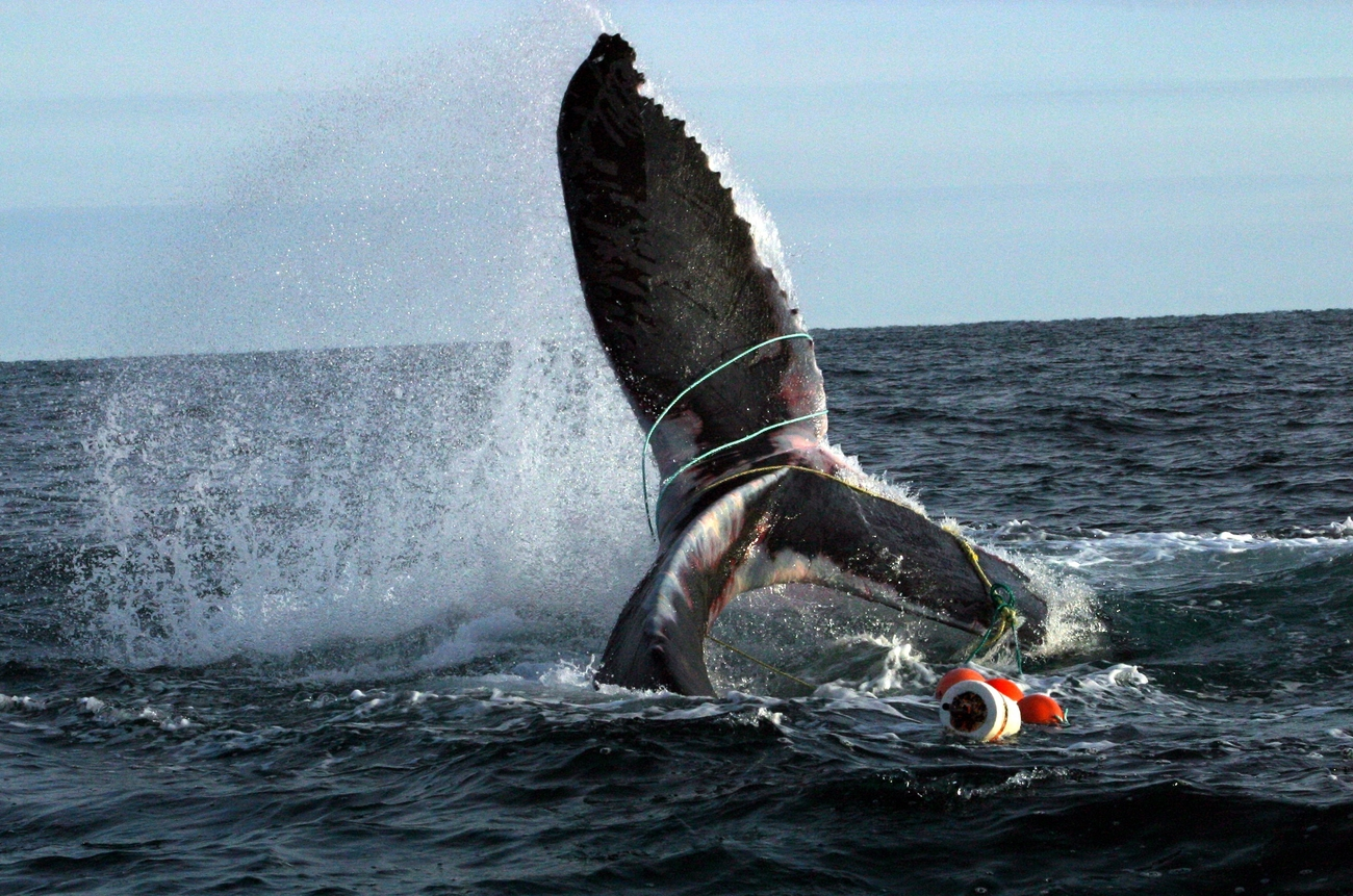 01-Humpback-Whale-Entangled-New-Brunswick-Canada