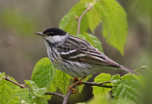 Blackpoll Warbler Birds
